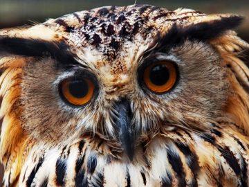 Пожарные в пос. Мосрентген спасли сову от стаи ворон